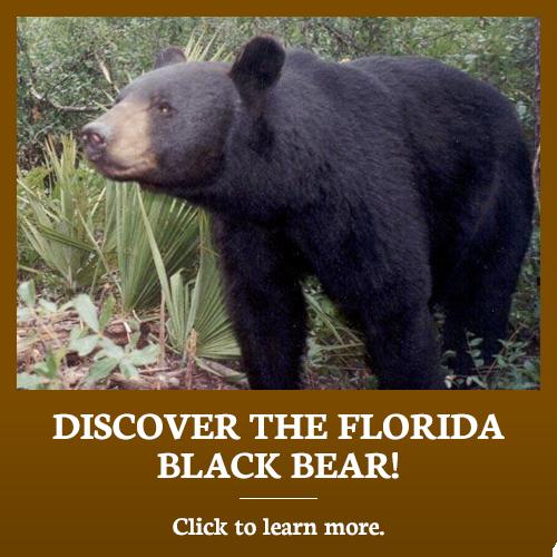 Discover the Florida Black Bear